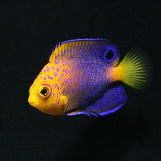 Interruptus angelfish for Rare aquarium fish