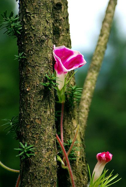 Morning Glory Blossom In Tree Unusual Flowers Amazing Flowers Beautiful Flowers