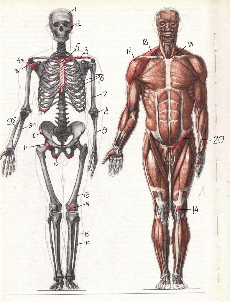 Pin von Oksana Sakharova auf Anatomy for art | Pinterest