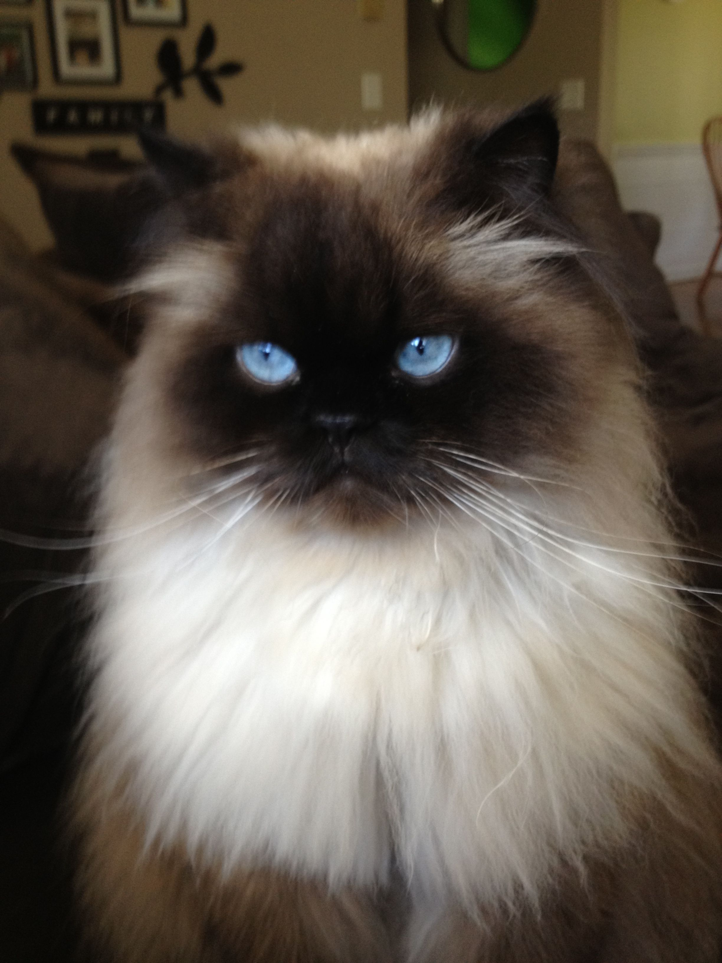 Himalayan cat!!!! That is one handsome guy!!