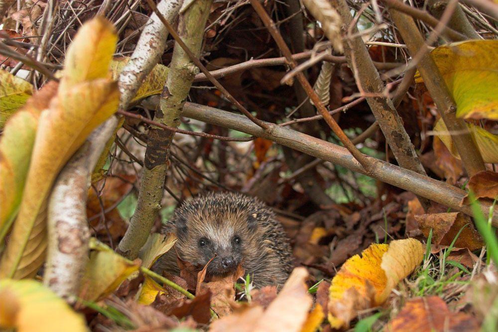 7 Tipps Fur Einen Igelfreundlichen Garten Igel Im Garten Igel Natur Tiere