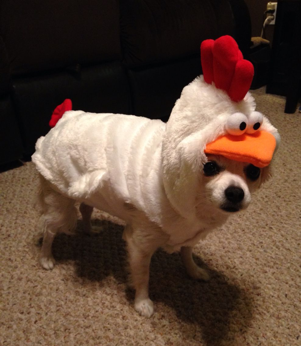 Chicken costume on @shmucky u0027s dog Tiffany. & Chicken costume on @shmucky u0027s dog Tiffany. | Animals/For my Dog ...