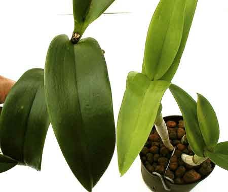Orchids Care Light Orchid Leaves Orchids Orchid Care