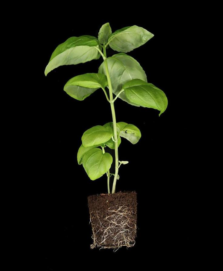 Basil Roots From The ēdn SmallGarden SoilPods #smartgarden