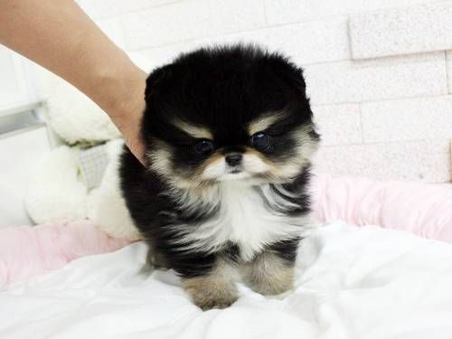 Free Pet Classifieds Ads Buy And Sell For Free Puppies And Kittens For Sale And Adoption Free Puppies Teacup Puppies Kitten For Sale