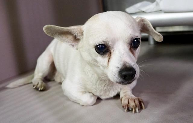 Thunder Aka Pepper A1098591 Poor Dog Dog Adoption Homeless Pets