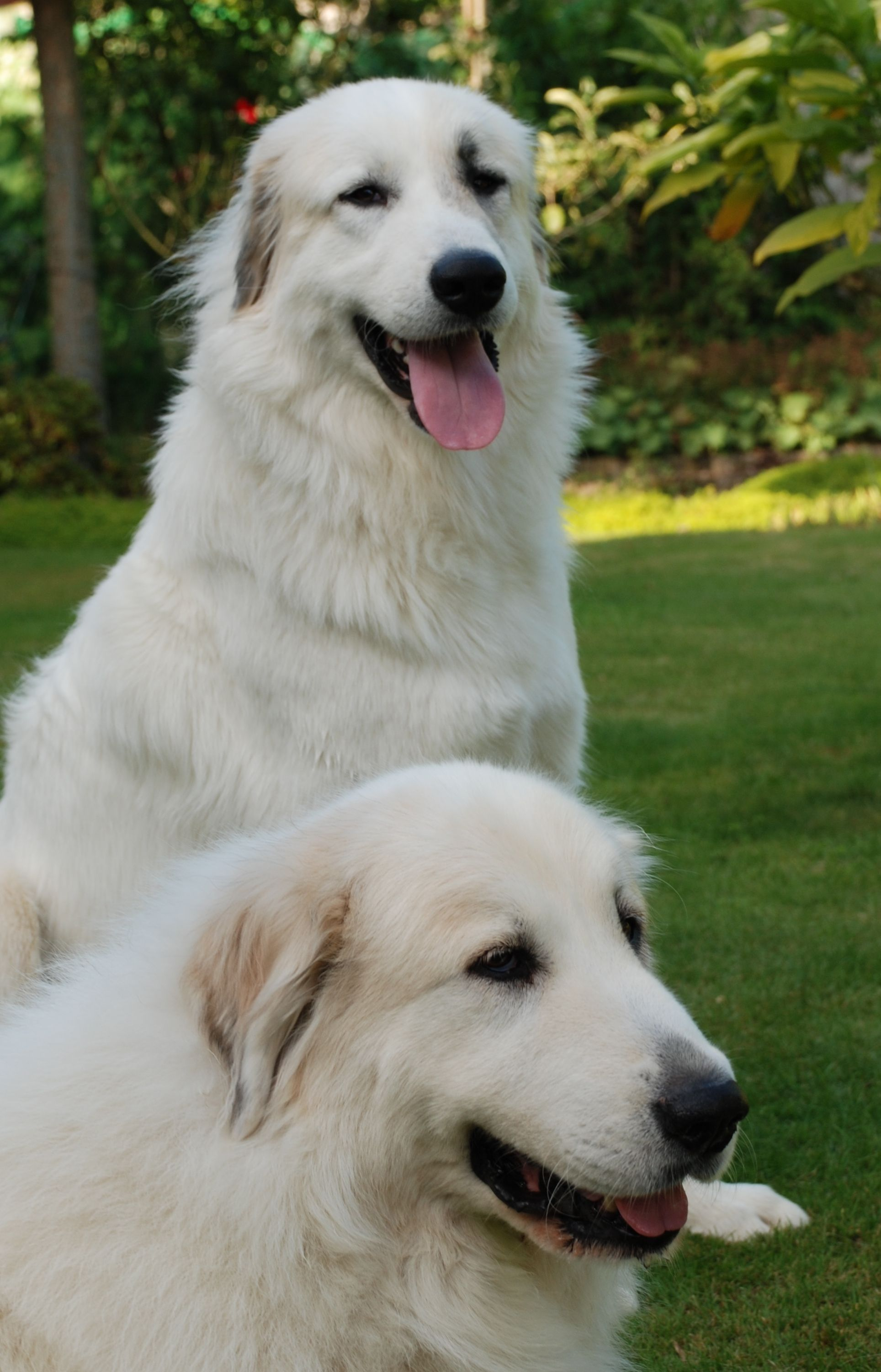 Great Pryness Dog Photo Great Pyrenees Dogs Photo And Wallpaper