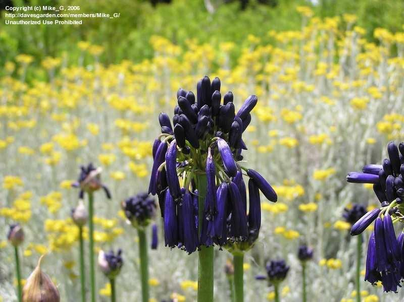 Agapanthus Graskop The Drooping Dark Blue Flowers Make This Variety Stand Out From Other Lilies Of The Nile Dark Blue Flowers Blue Flowers Flower Making