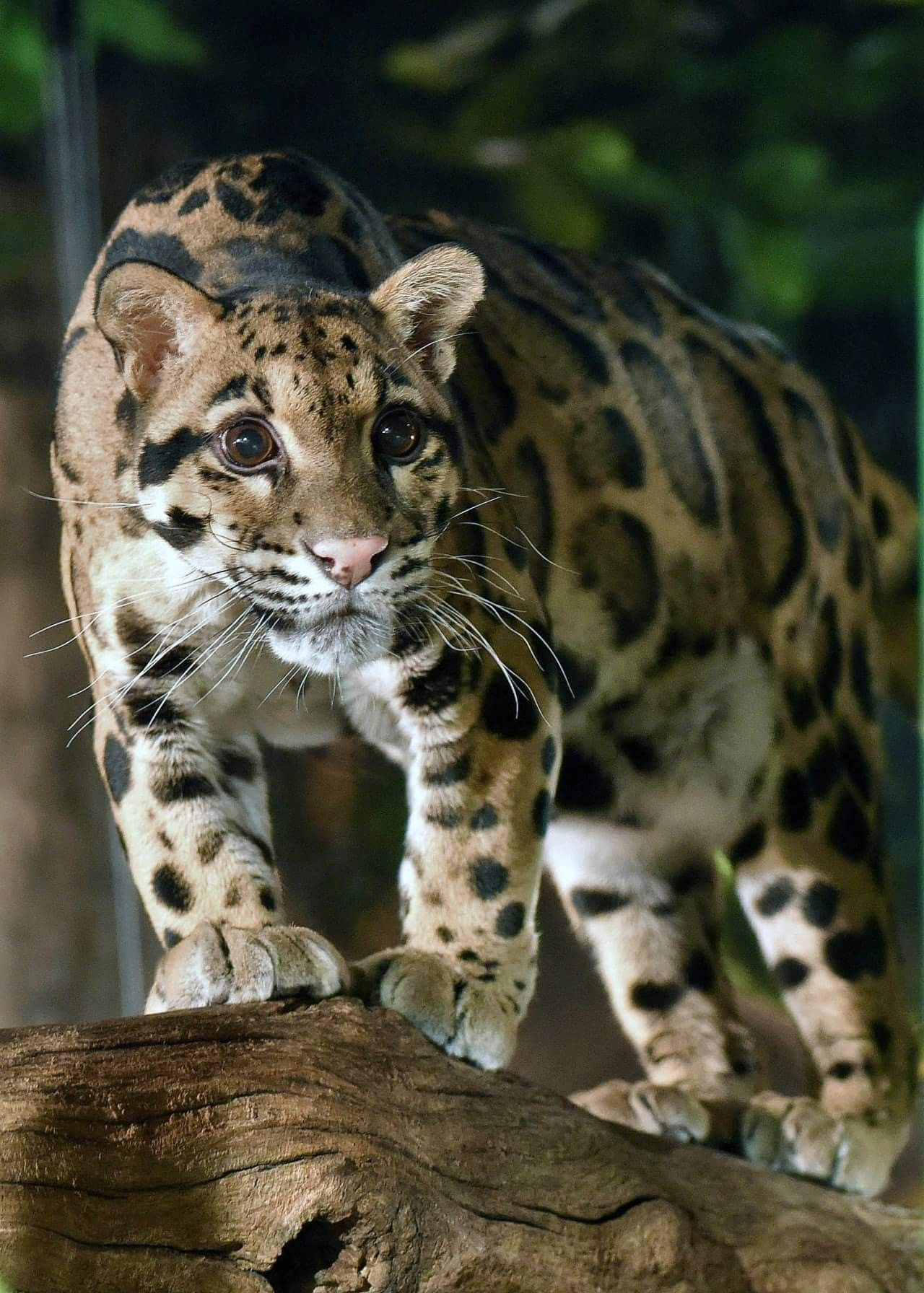 Beautiful clouded leopard with big gorgeous eyes! These ...