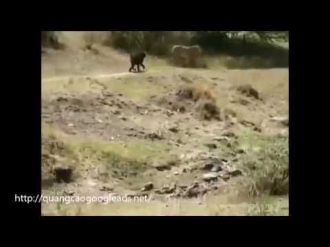 Baboons chasing lions running through forest
