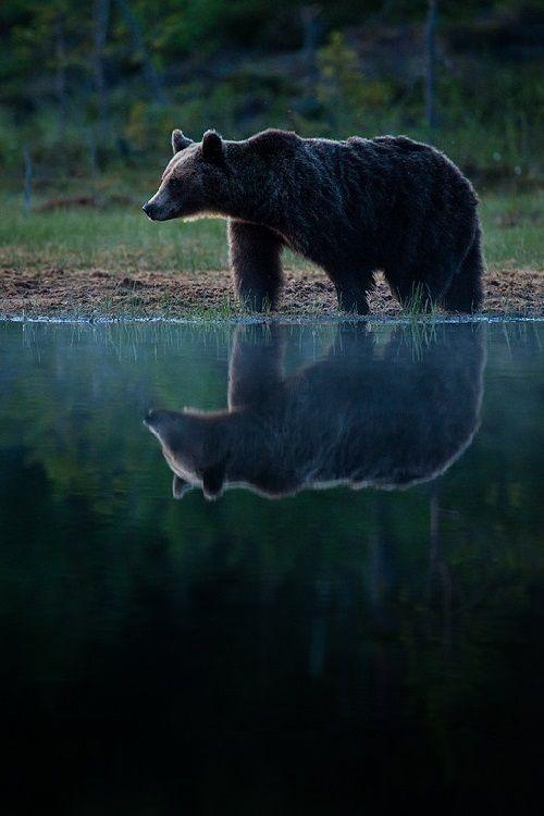 Black Bear Reflections