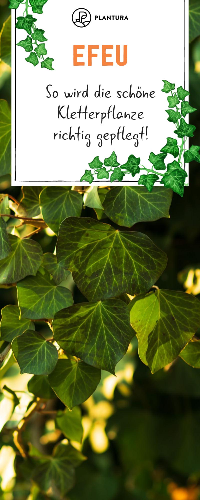 Efeu Alles Zum Pflanzen Pflegen Entfernen Der Kletterpflanze Plantura Pflanzen Kletterpflanzen Pflanzenblatter