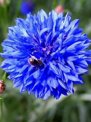 Cornflower Grow Guide Plant Pests Growing Flowers Plants