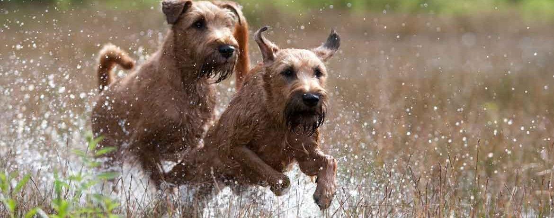 Der Irish Terrier Irischer Terrier Schweizer Hund Terrier