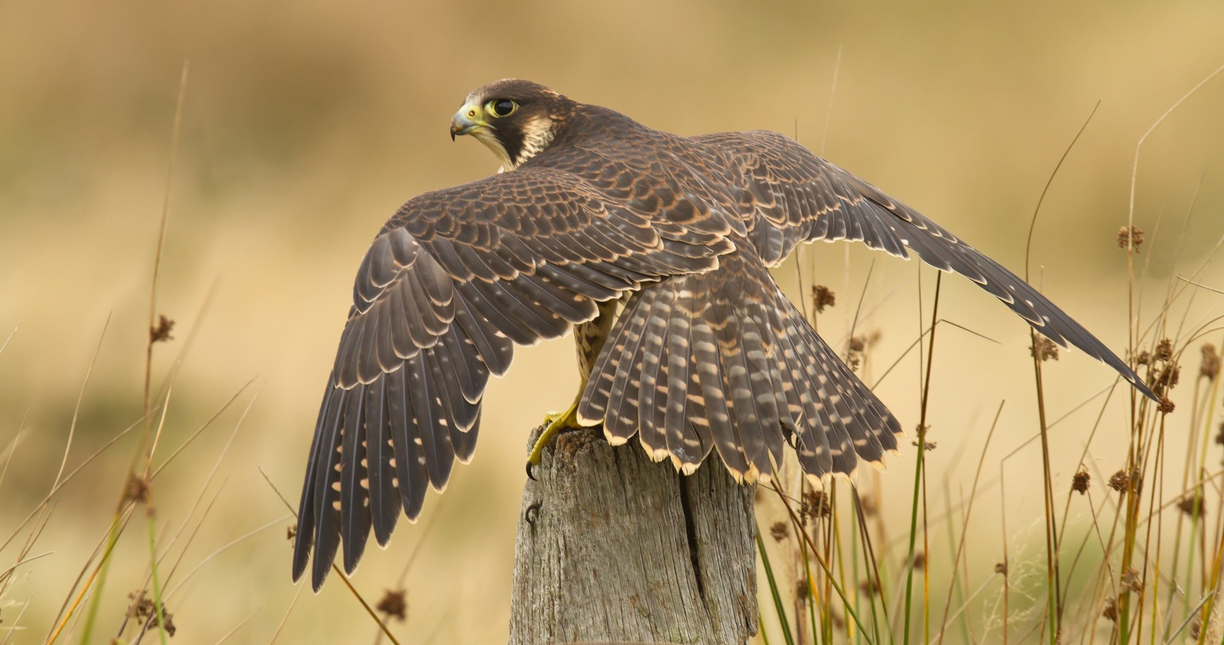 Falcon High Resolution Wallpapers: Peregrine Falcon Wallpapers High Quality Resolution
