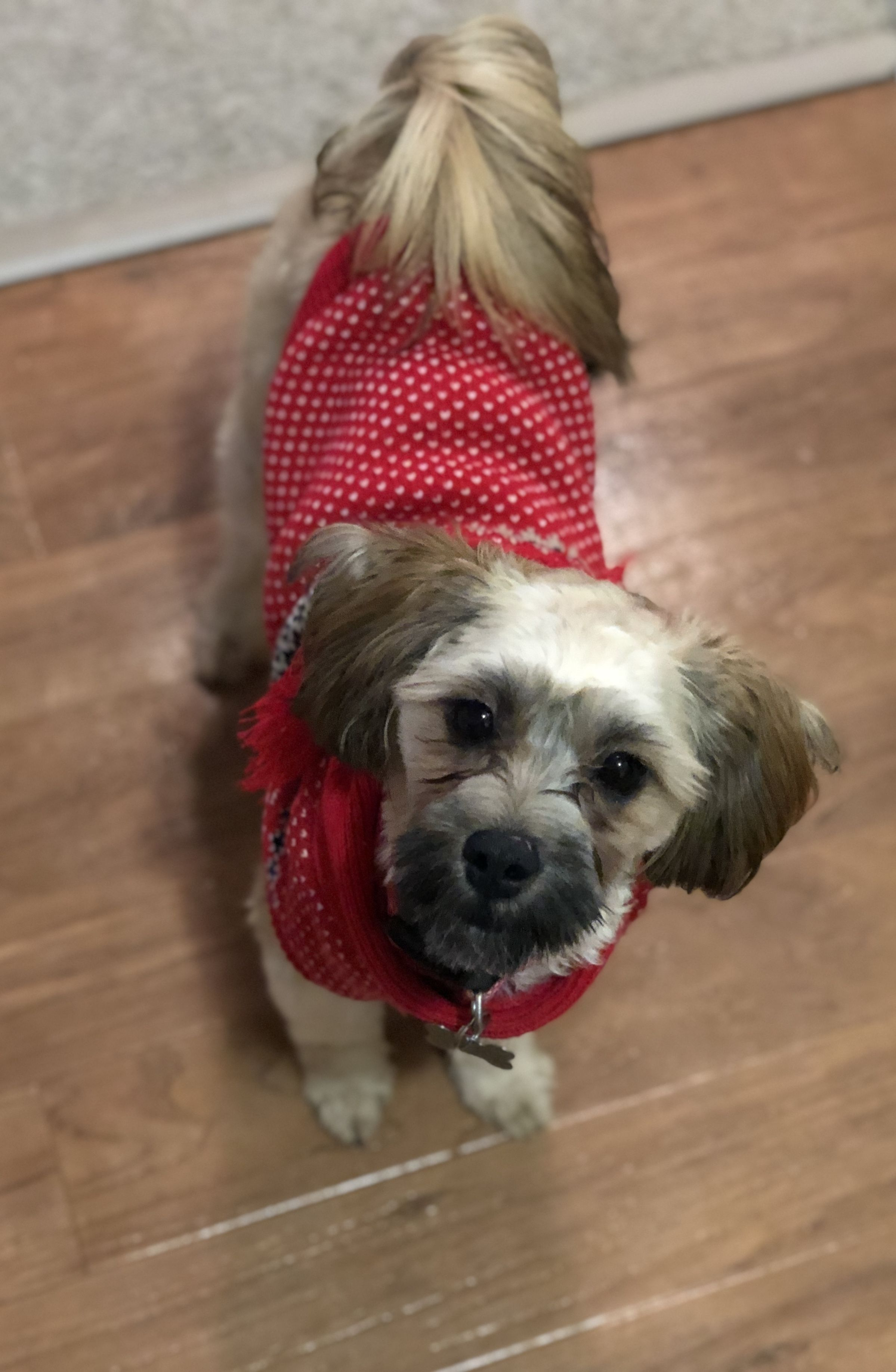 Adopt RollieAdopted! on Terrier mix dogs, Yorkie poo