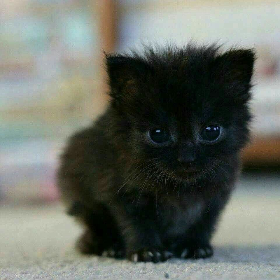 This Little CUTIE Reminds Me of the Allblack Kitten I