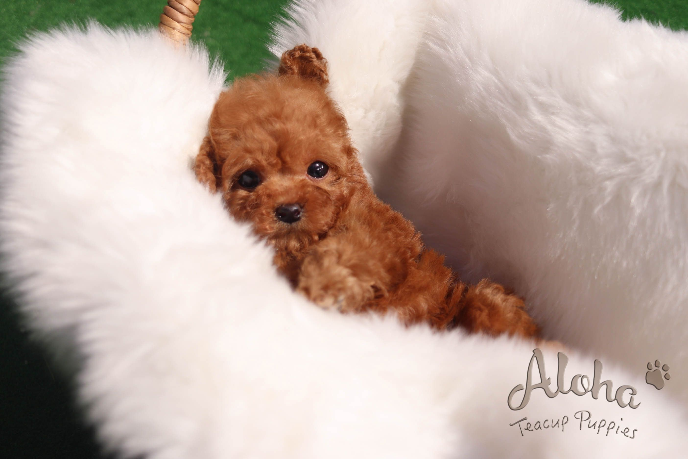 Pin By Lauren Hemple On Pups Teacup Puppies Teacup Puppies For Sale Puppies