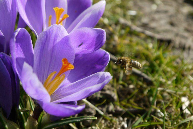 Krokusblüte Baden-Baden: Im Anflug auf den Frühling