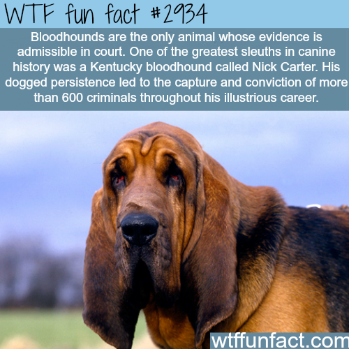 Bloodhounds is the only dog that.. - WTF fun facts | It's A Fact ...