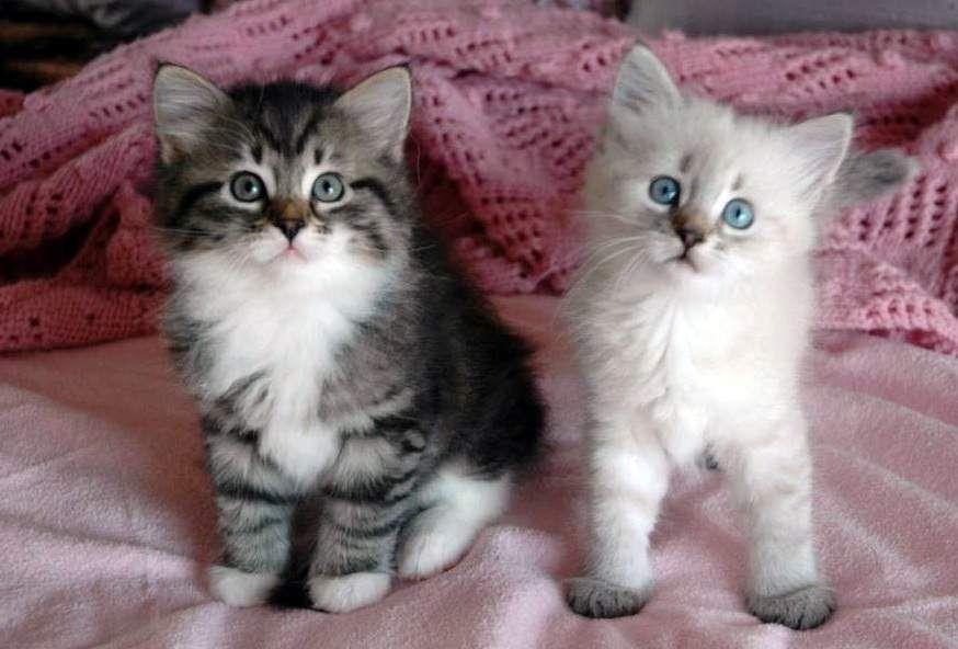 New Blog 1 Siberian Cats For Adoption Siberian Cat Siberian