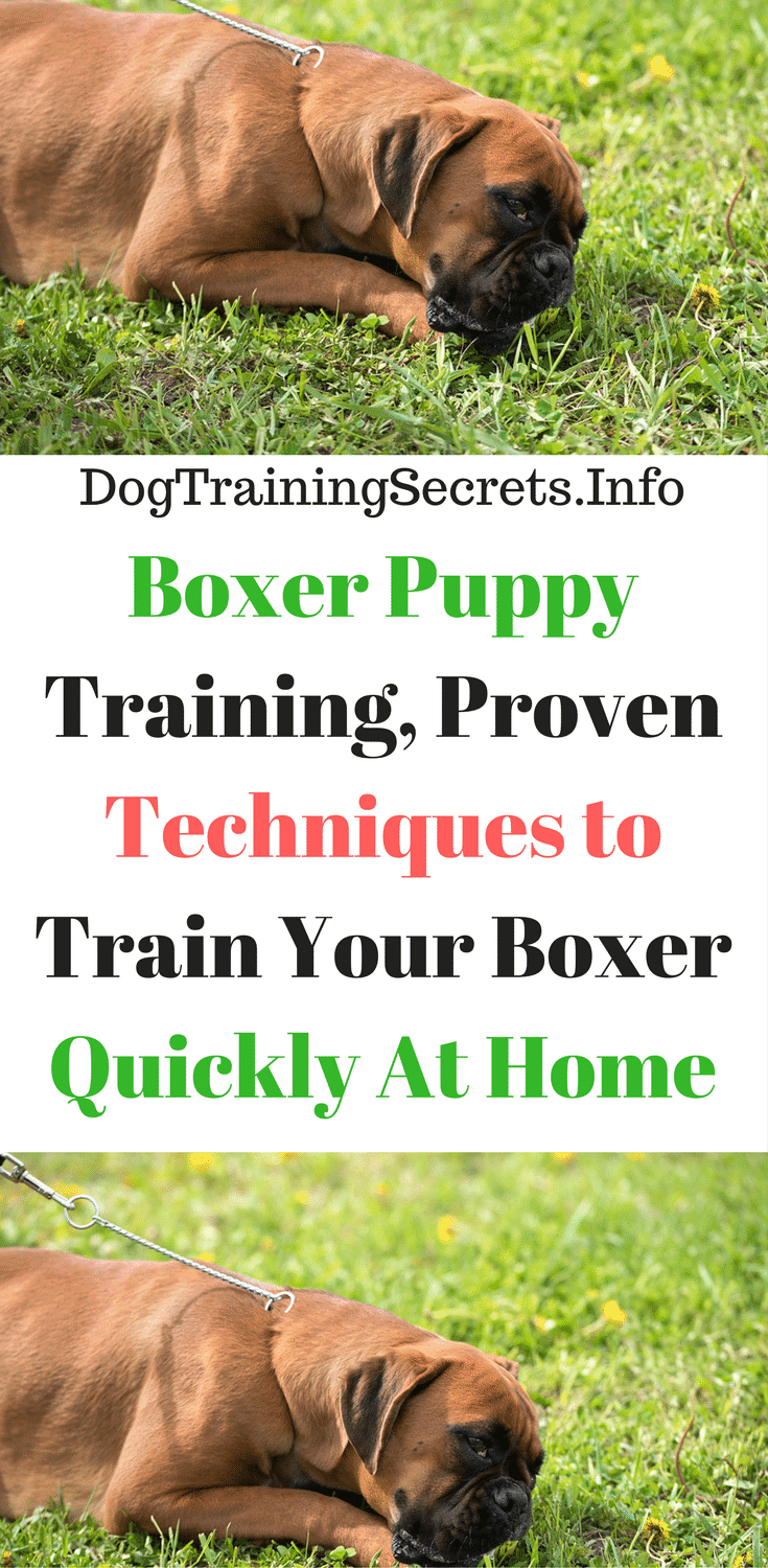 Boxer Puppy Training, Proven Techniques to Train Your