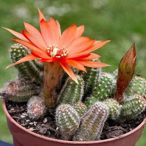 5 Cactus Sans Soucis A Faire Fleurir Facilement Plante Grasse