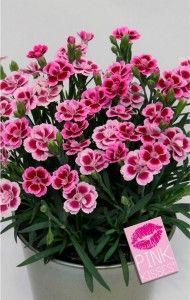 A Dianthus Pink Kisses Cravina Flor Jardinagem E Decoracao Planta Herbacea