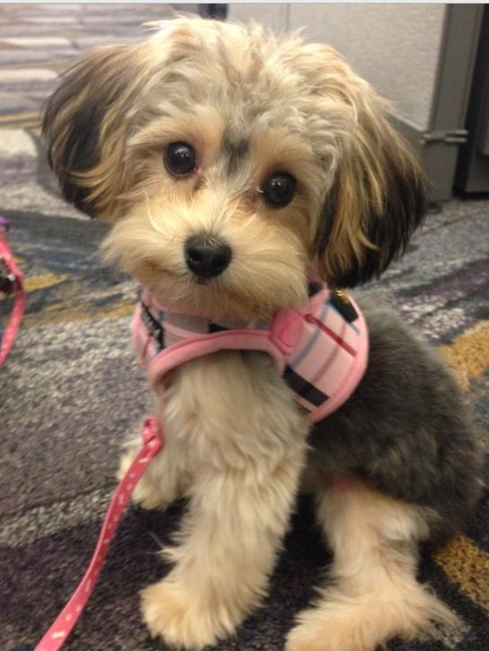 Cutest little yorkie poo ever