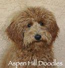 Aspen Hill Doodles: Colorado Goldendoodle Breeder   Puppies