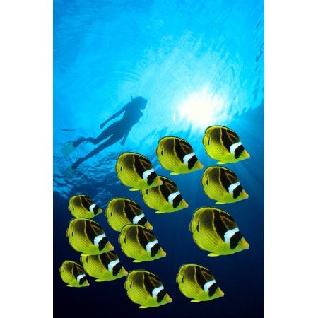 Raccoon Butterflyfish school foreground woman snorkeler silhouetted surface sunburst Canvas Art - Jody Watt Design Pics (12 x 19)