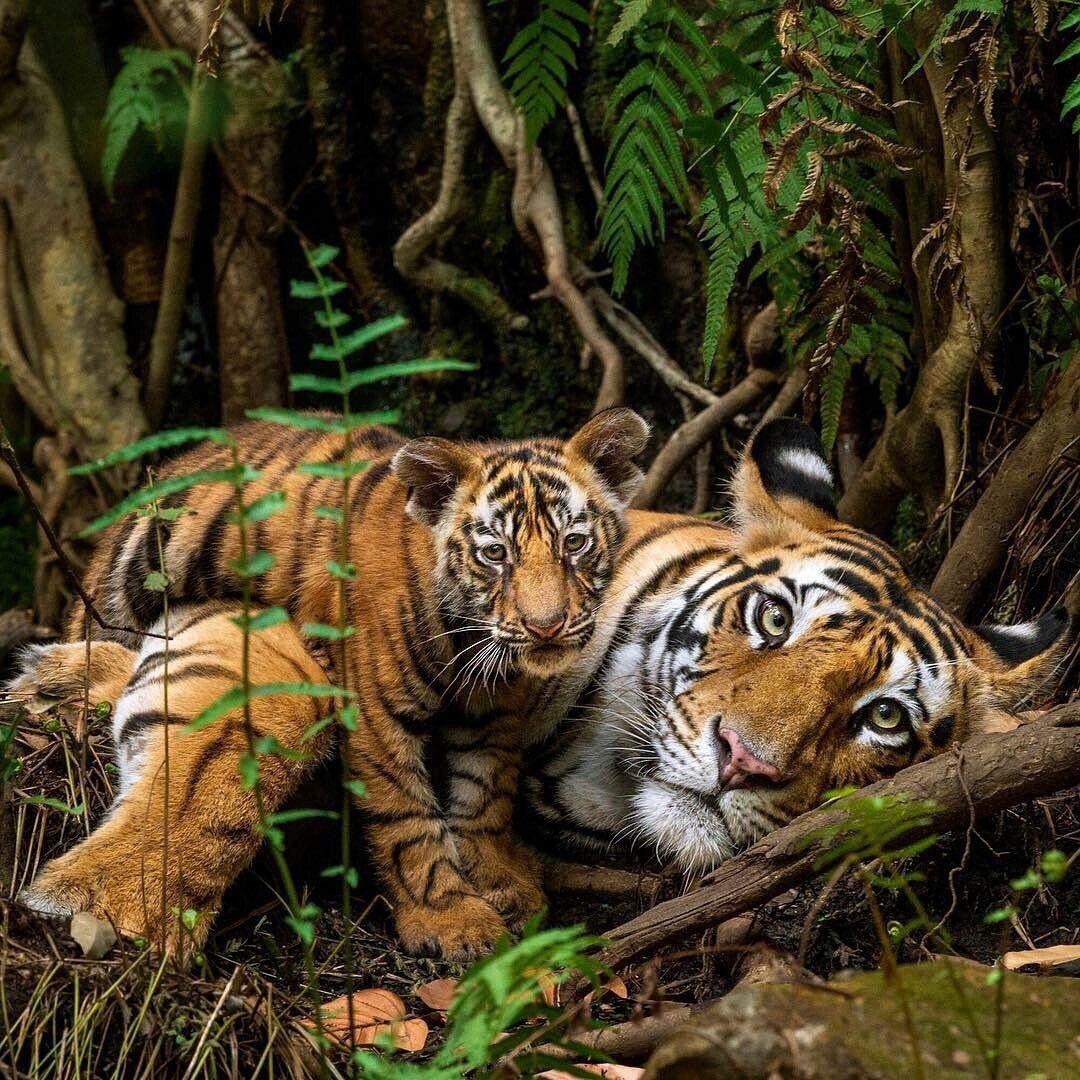 Pin Von Anna Lindlbauer Auf Tiger Tiere Wild Tiger Fotografie