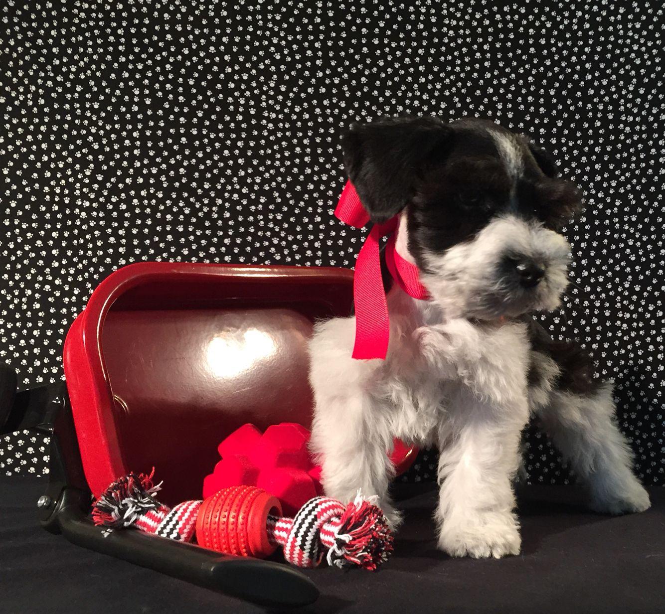 Franz (8 weeks old) :-) | Yorkie, Miniature schnauzer ...