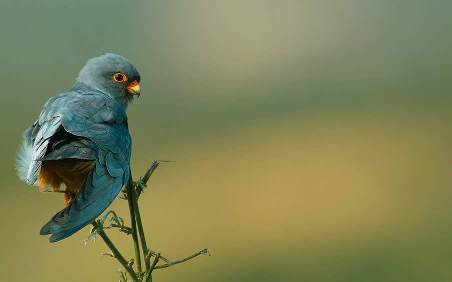 Red-Footed Falcon by Murat Acuner