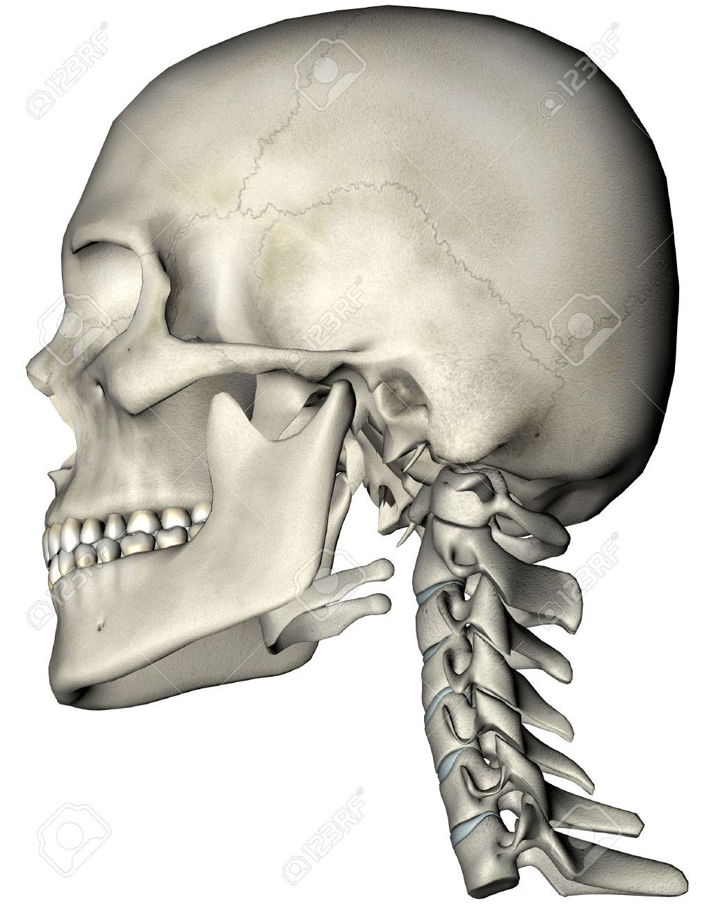 Humanos Cráneo Y La Columna Cervical (cuello) Lateral Ilustración ...