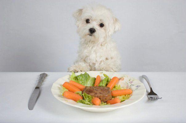 Max The Cesar Dog Food Model Maltese Puppy Maltese Dog