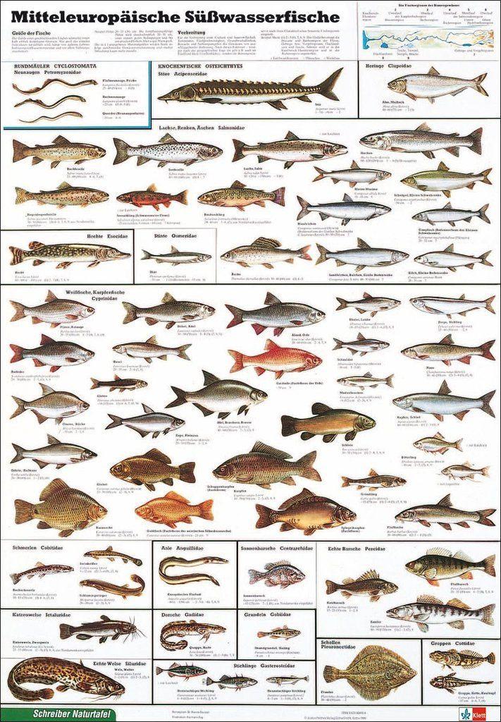 Educational Freshwater Fish Süsswasserfische Bildung Lernposter Druck
