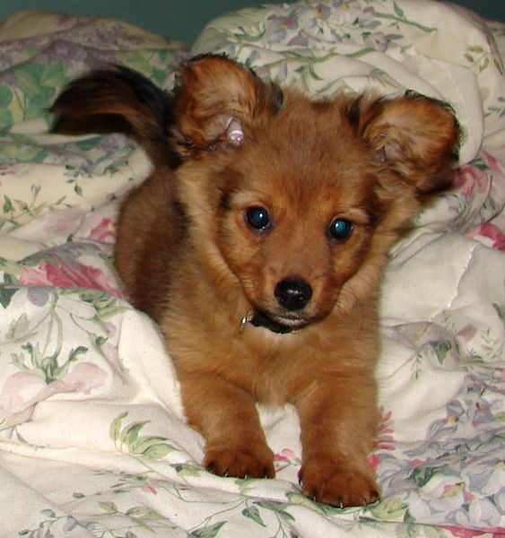 Dameranian Dachshund Pomeranian Mix My New Favorite Unique