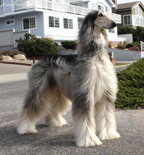 Afghan Hound Pictures Ti51xxgdy2t Afghan Hound Beautiful Dogs