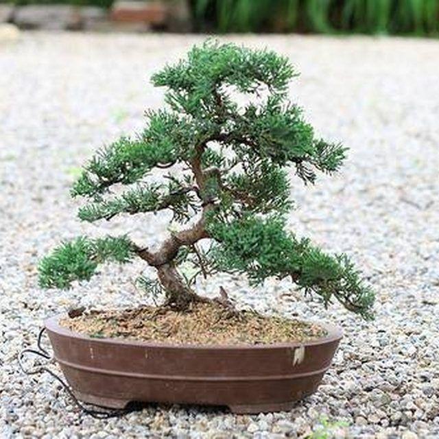How To Bonsai A Cedar Tree Ehow Bonsai Care Bonsai Tree Bonsai Plants