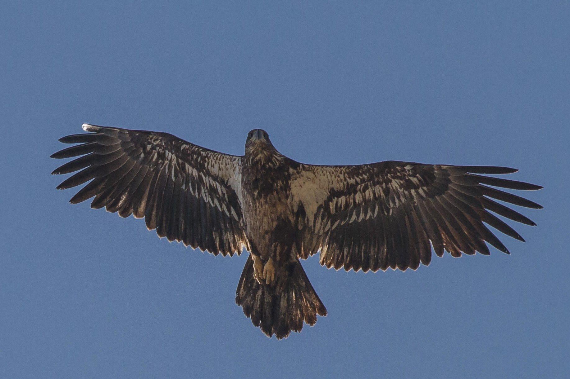 Juvenile Eagle Addison Vermont Photo By Mapadu Bald Eagle