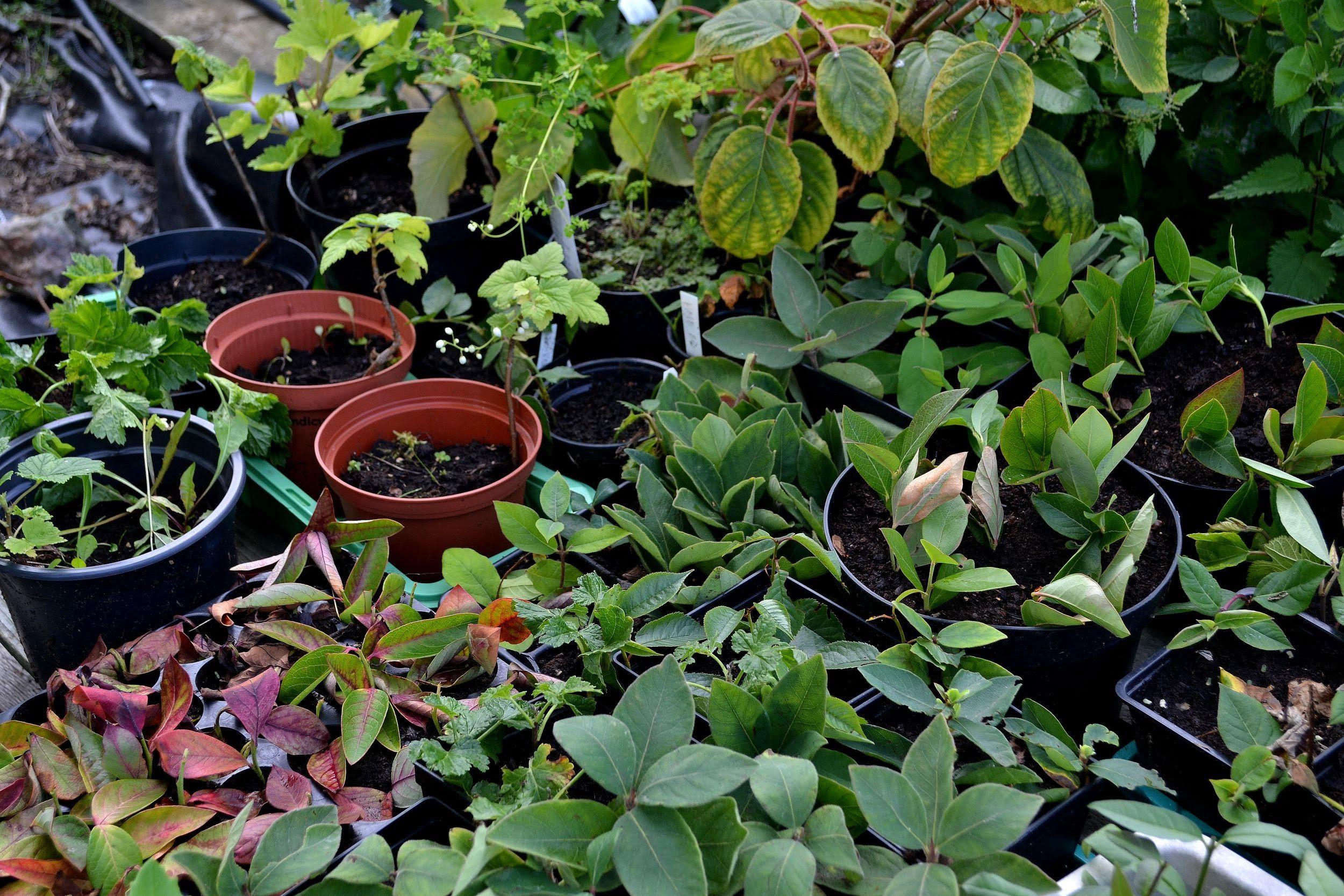 Gör många nya bärbuskar till dig själv eller ge bort plantor till någon du gillar. Så här förökar jag bärbuskar genom sticklingar. Bär och frukter jag odlar ...