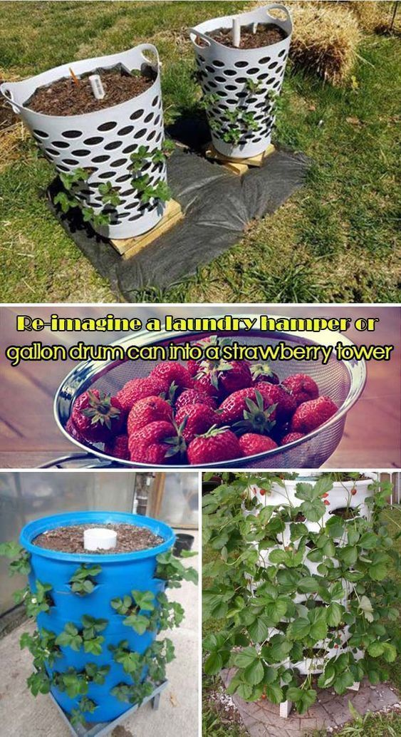 Reimagine a laundry hamper or gallon drum can into a strawberry tower is part of Growing strawberries -