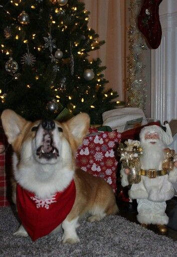 maxthecorgssinging the christmas songs of his people - Animals Singing Christmas Songs
