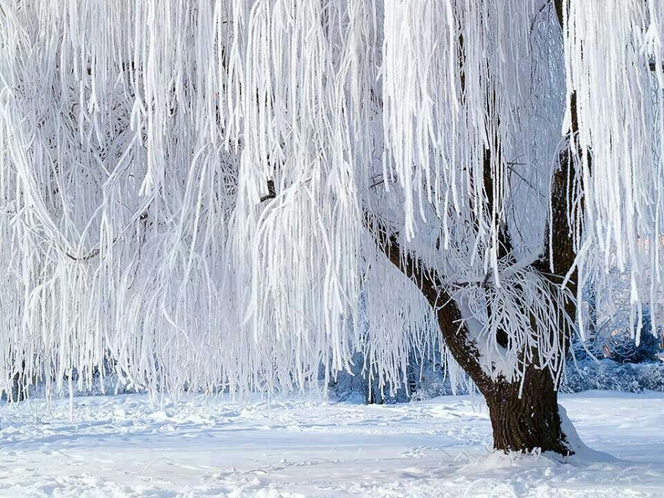 Snow Covered Weeping Willow Tree Winter Trees