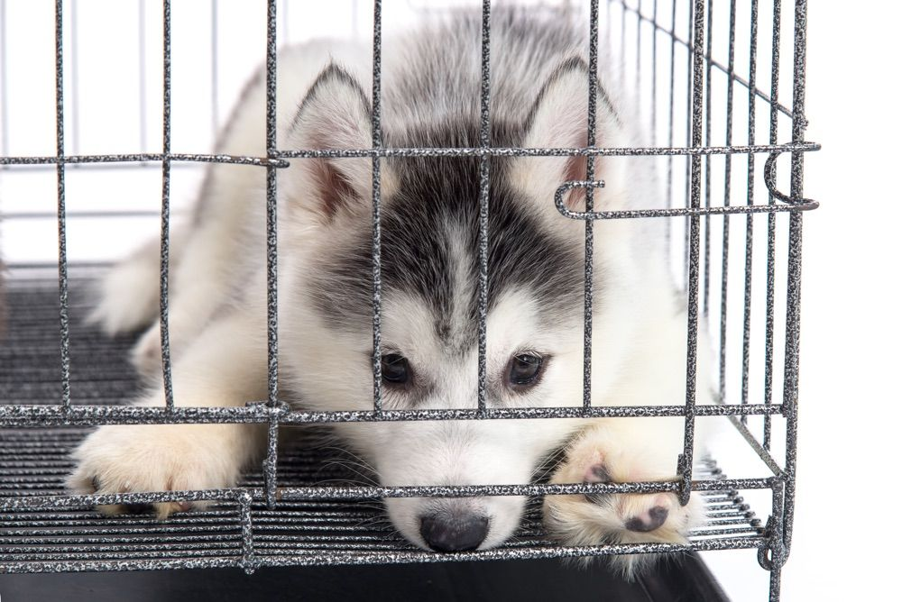 Everything You Need To Know About Siberian Husky Dogs Pets