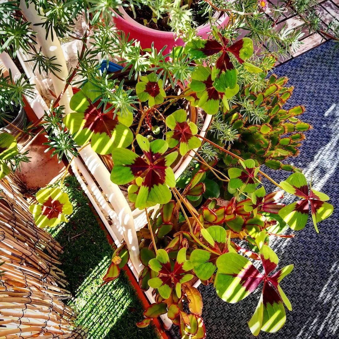Tréboles  de la suerte... . . Lucky shamrocks  ... . . . . #shamrocks #lucky #luckyshamrock #naturelovers #treboles #trebols #greenenergy #instagood #picoftheday #natural #inmygarden #green #goodluck #good #instagood #mygarden #gardenning #urbangarden #bio #grow #girl #mylife #plantslovers #plants #veggie