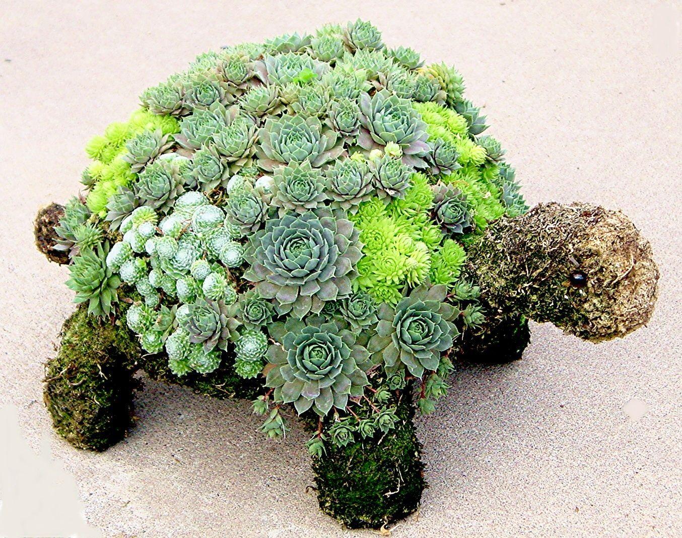 Succulent turtle portas pinterest turtle gardens and plants