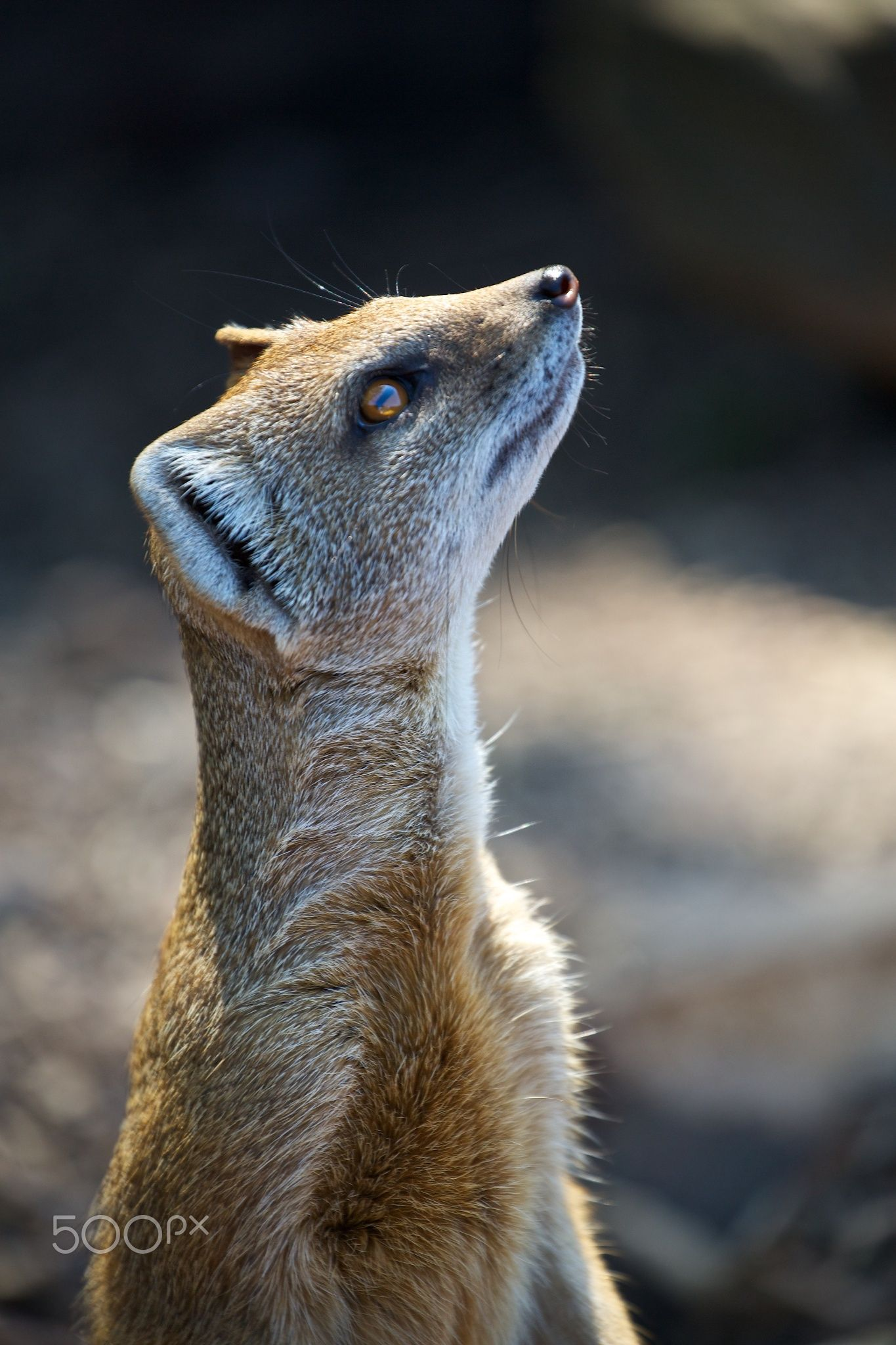 Mongoose watching, guess what is coming? by Christophe