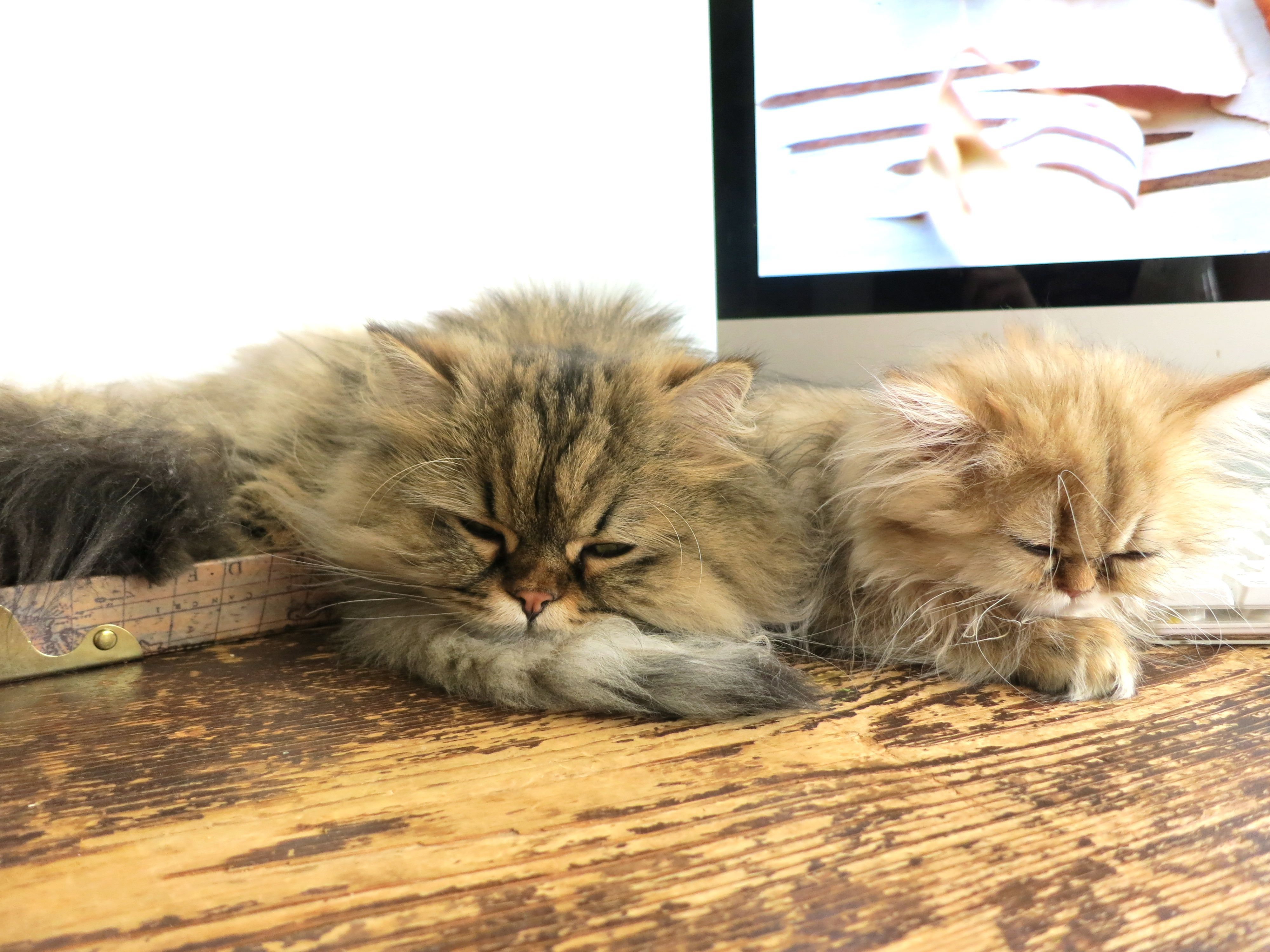 Best Friends Two Persian Cats Click To Read About The First 3 Weeks Of Introducing A New Kitten To A Resident Cat Cat Training Cats Kitten Meowing